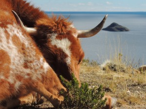 A cow enjoys the Bolivian lifestyle, Isla del Sol.
