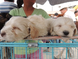 Sleeping puppies at the Cochabamba animal market.