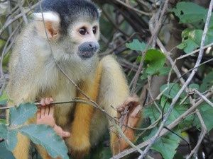 Super cute squirrel monkeys in the pampas, Santa Rosa.